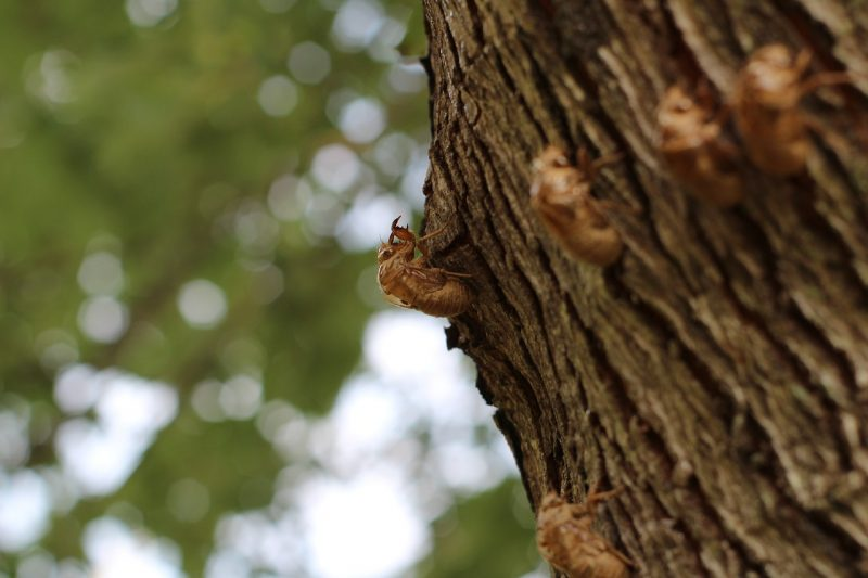Cicada pest singing.