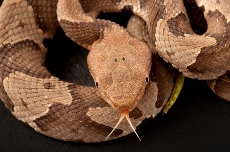 Copperhead snake sticking its tongue out.