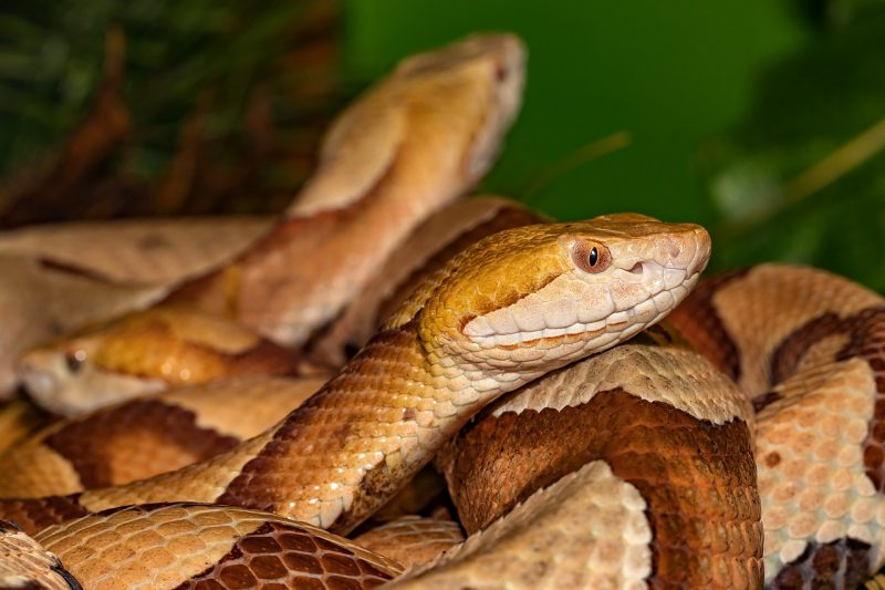 Copperheads may come in pairs.