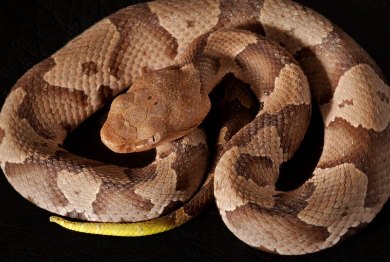 Copperhead snake coiled.