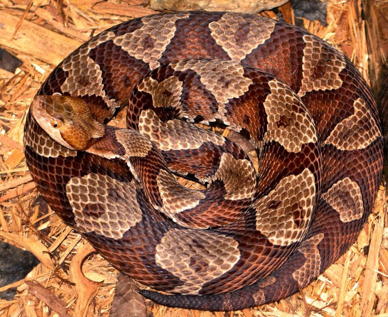 Copperhead snake coiled ready to strike.