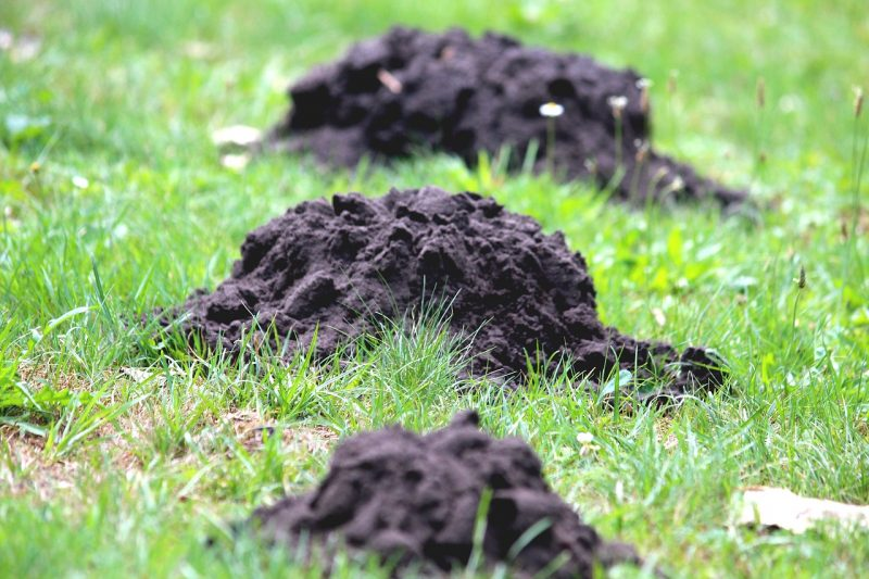 Mole damage on lawn.