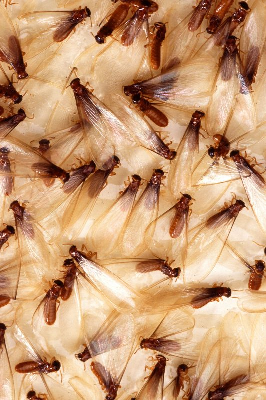 Flying termites closeup.