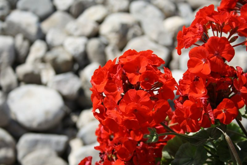Geraniums for bees.