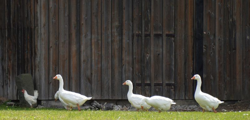 DIY methods to get rid of winged termites. Ducks on clean lawn.