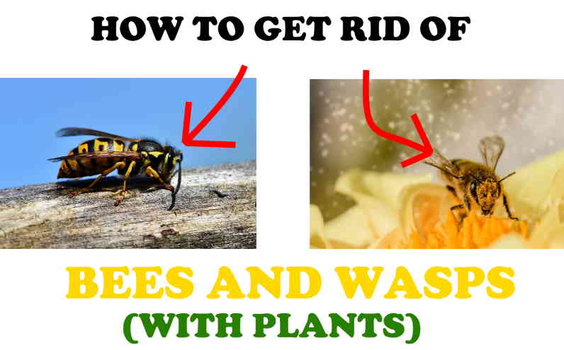 How to get rid of wasps and bees using plants.