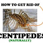 How to Get Rid of House Centipedes Naturally (Ultimate Guide!)