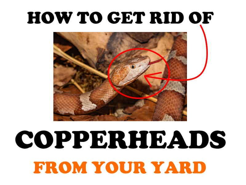 How to get rid of copperheads from your yard.