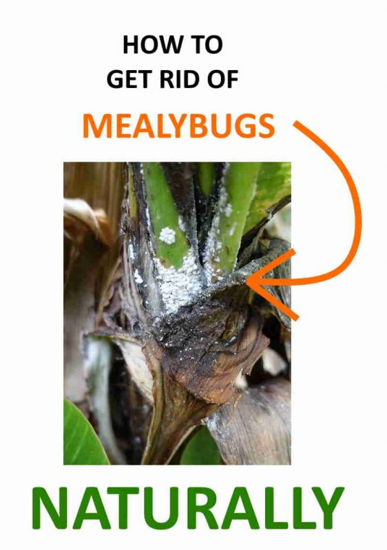 How to get rid of mealybugs at home