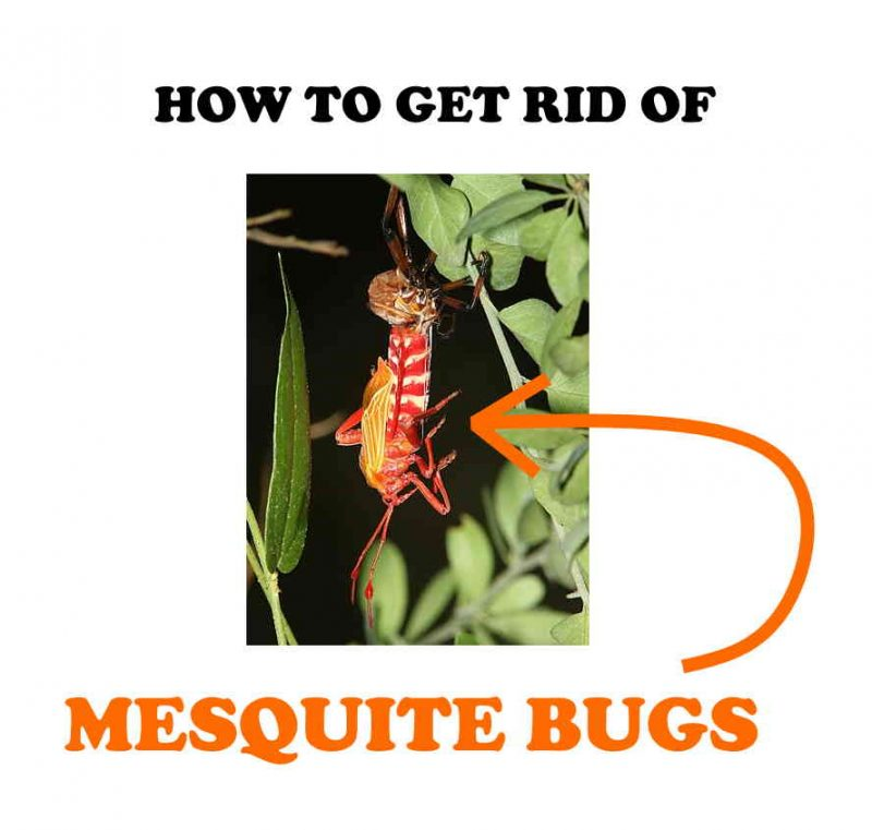 How to get rid of giant mesquite bugs