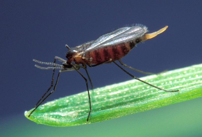 How to get rid of midge bugs naturally.