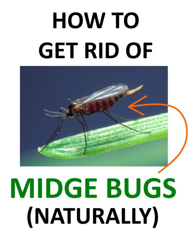 Learn how to get rid of midge bugs naturally.