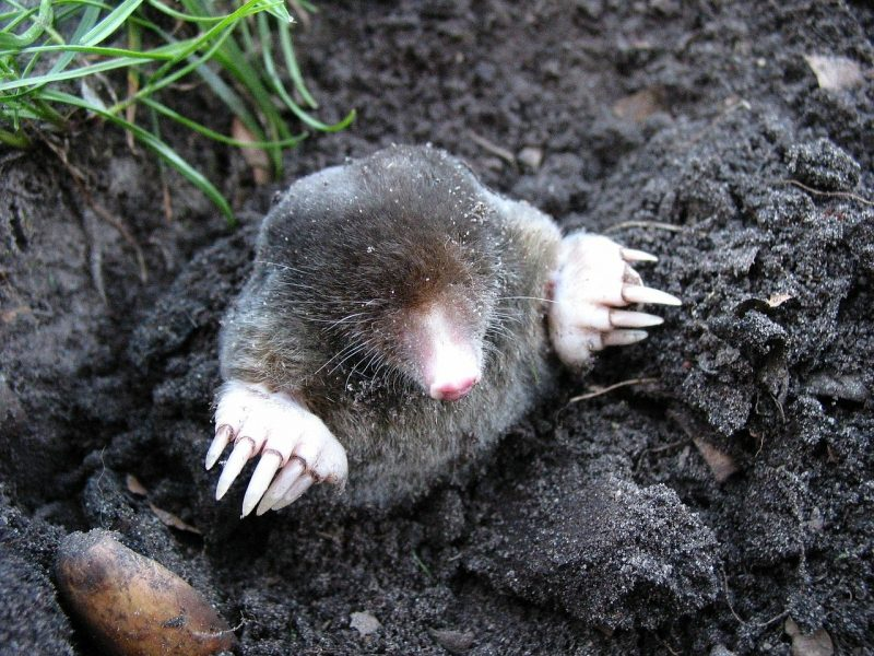Moles are a real pest for many yards. Learn how to get rid of them naturally using home remedies.