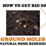 How to Get Rid of Moles in Your Yard (Natural Home Remedies!)