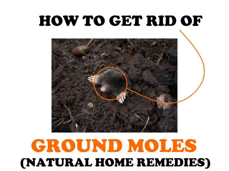 How to get rid of yard moles.