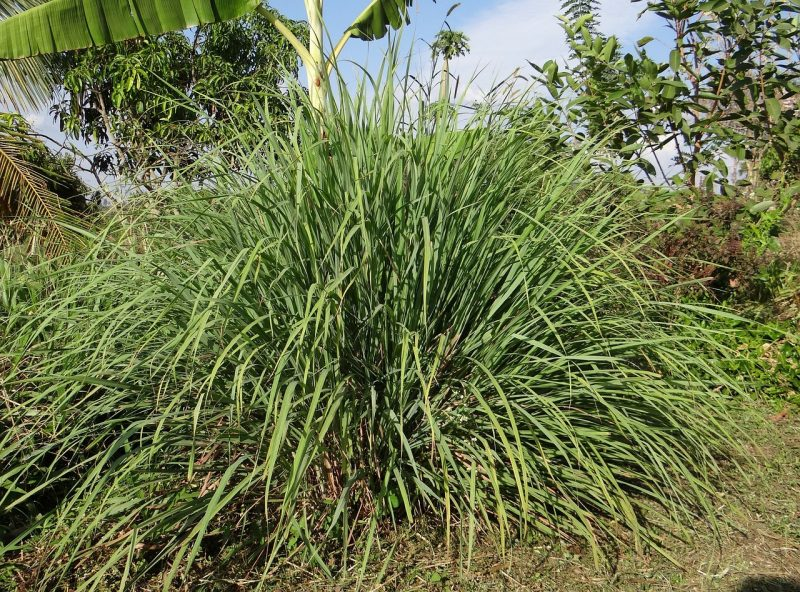 Lemongrass plant.