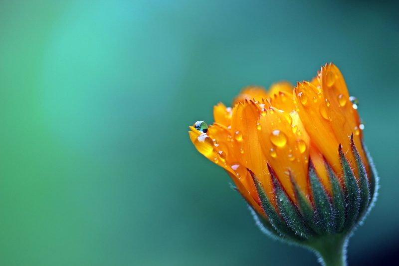 Marigold plants repel bees.