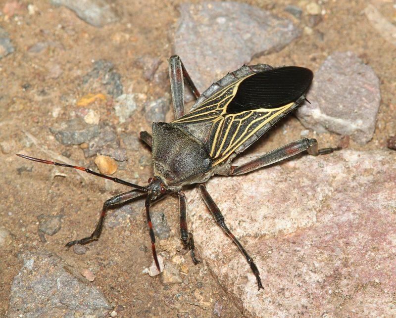 Mesquite bug close up.