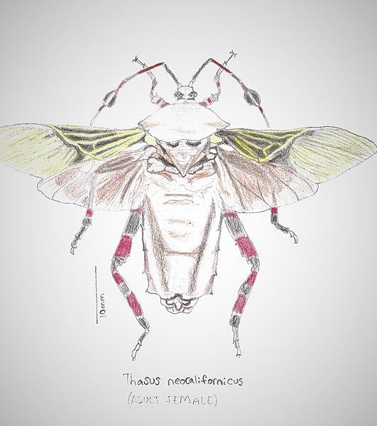 Female mesquite bug vs. male.