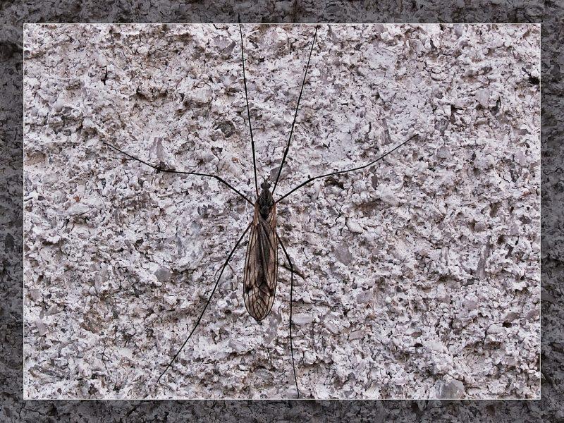 Midge bugs on home.