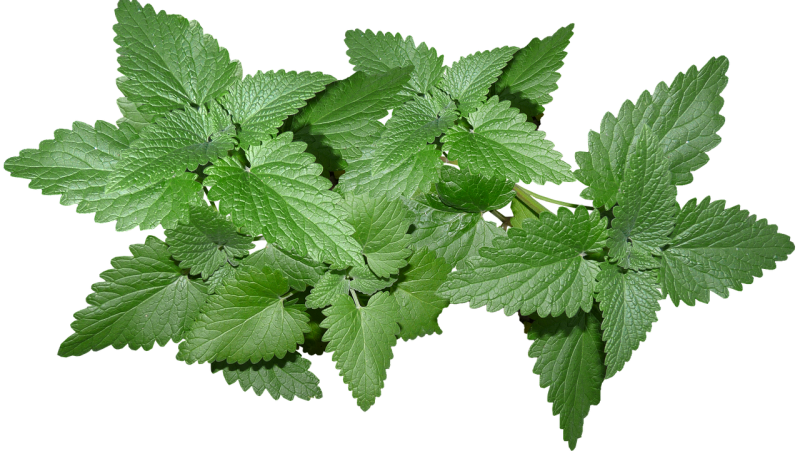 A mint plant deters and repels mosquitoes naturally from the house.