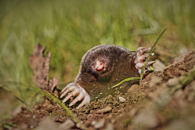 Lawn mole coming out of molehill.