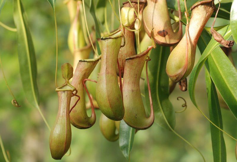 Pitcher plants.