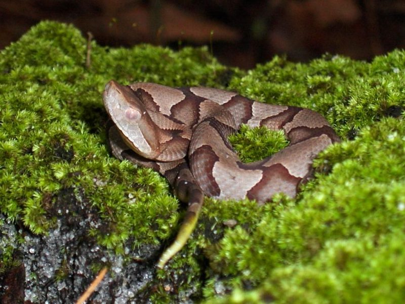 Copperhead basking in plants. Use repellent plants to keep snakes out.