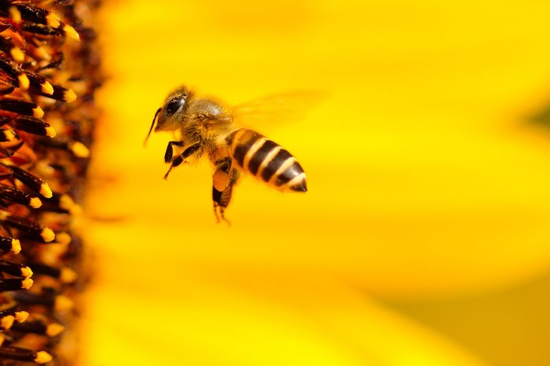 Don't be afraid of bees- use these techniques to naturally repel them.