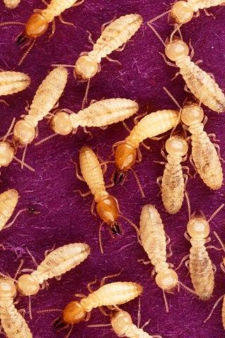 Termites macro.