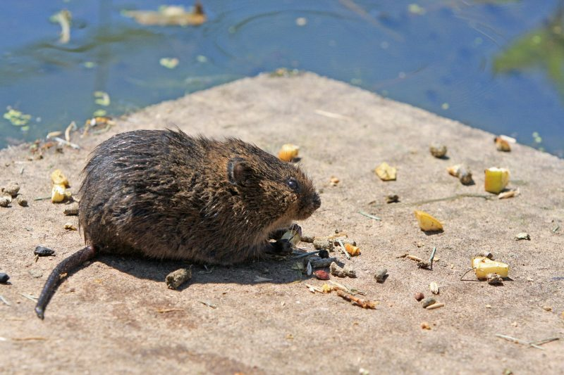 Vole eating.