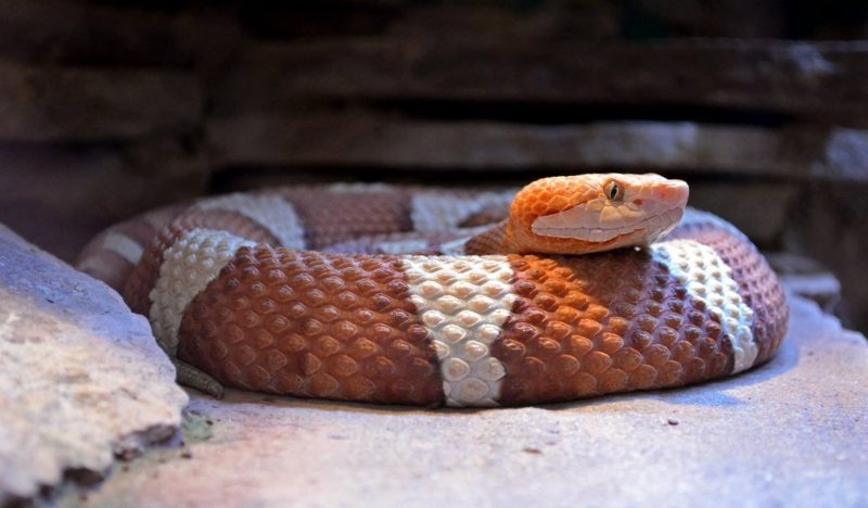 Coiled snake ready to strike!