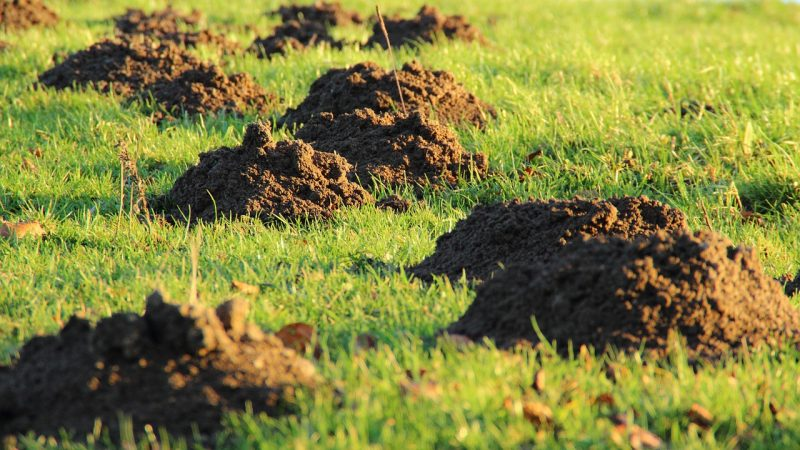 Moles are active during the day and night and may damage your lawn.