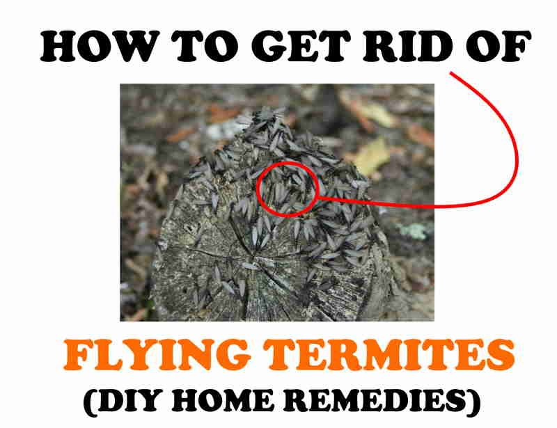 How to get rid of flying termites naturally.