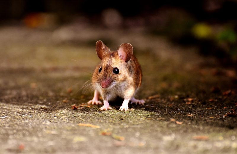 Field mouse scavenging for food.