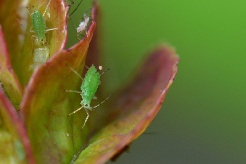 Aphid on bonsai tree.