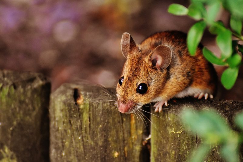 Field mouse in the yard.