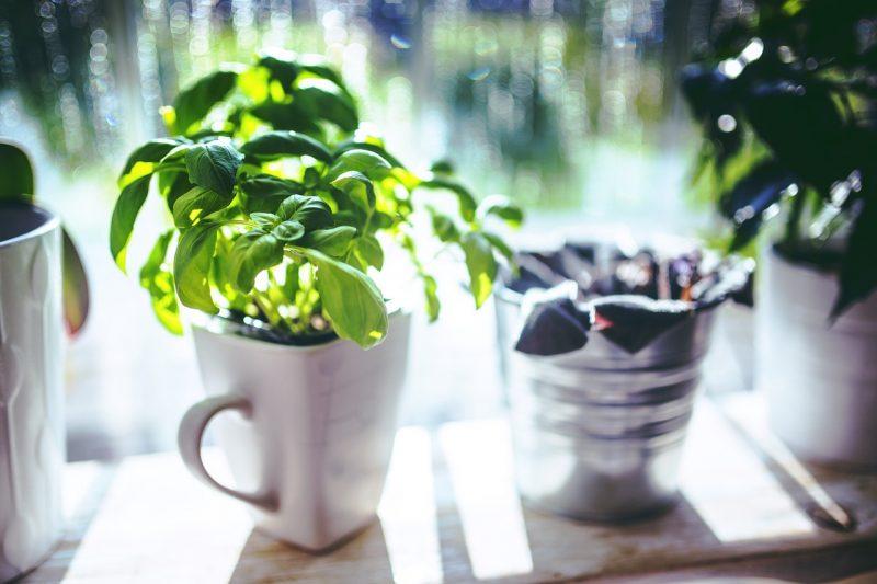Basil plants.