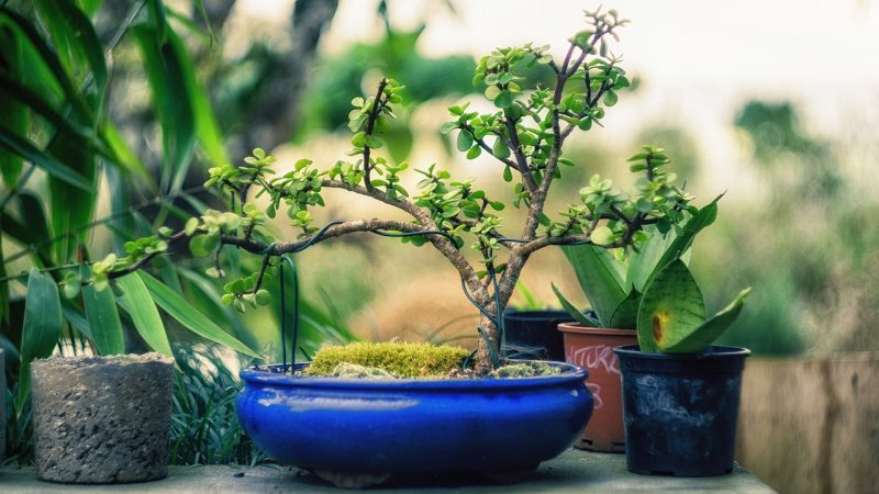 Bonsai tree outdoors without pests.