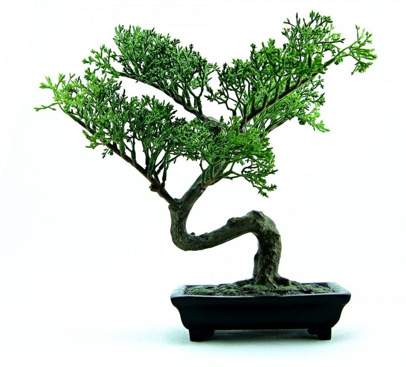 No bugs on bonsai tree indoors. DIY home remedies to get rid of bugs.