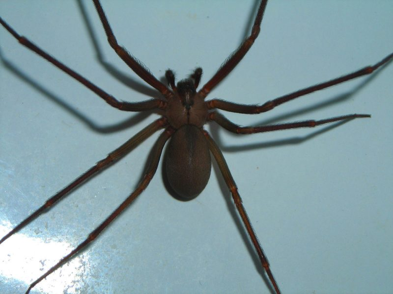 Brown recluse spider within the home.