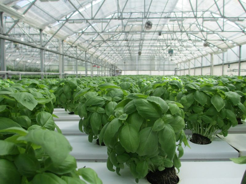 Pest-free basil greenhouse.
