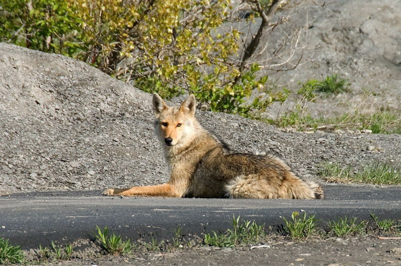 Daylight coyote attacks are possible.