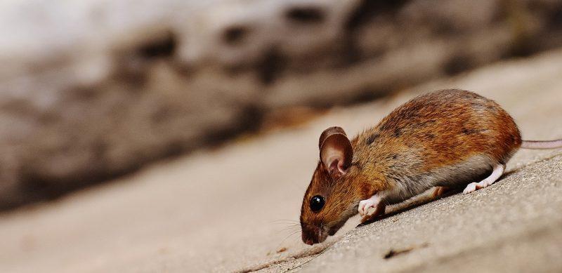 Field mice in yard.