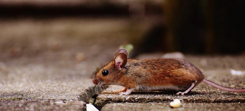 Field mice dangers.