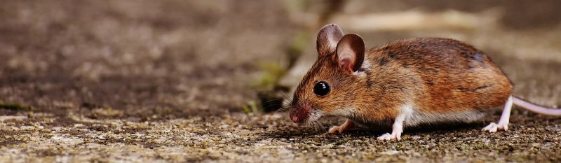 Field mouse outdoors.