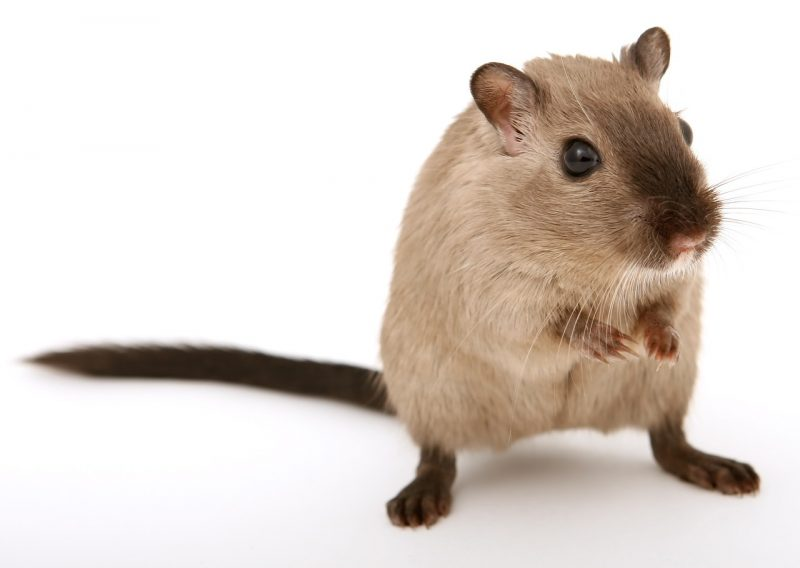 House mice have a single shade of color and dark tail.