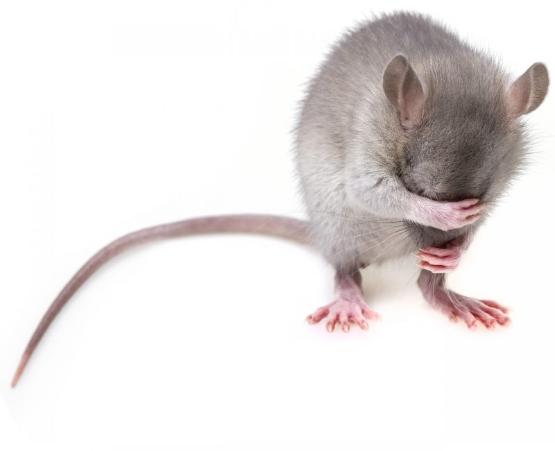 Field mice fleas, ticks, and mites.