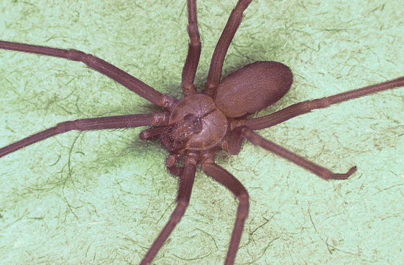 How to get rid of brown recluse spiders DIY home remedies.