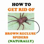 How to Get Rid of Brown Recluse Spiders (Naturally!)